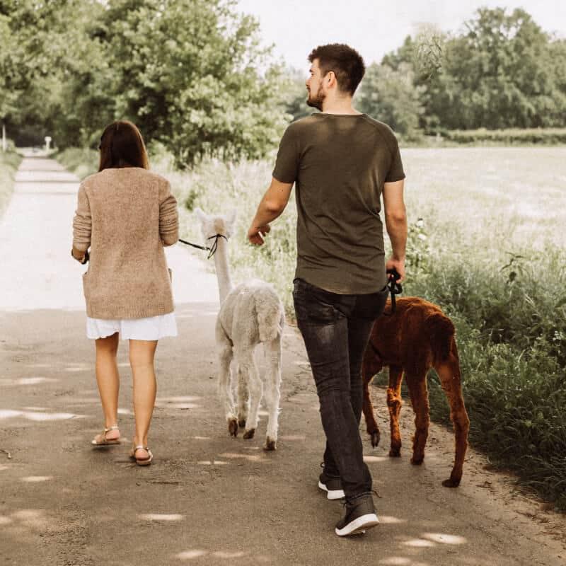 Alpaka-Spaziergang_Produkt