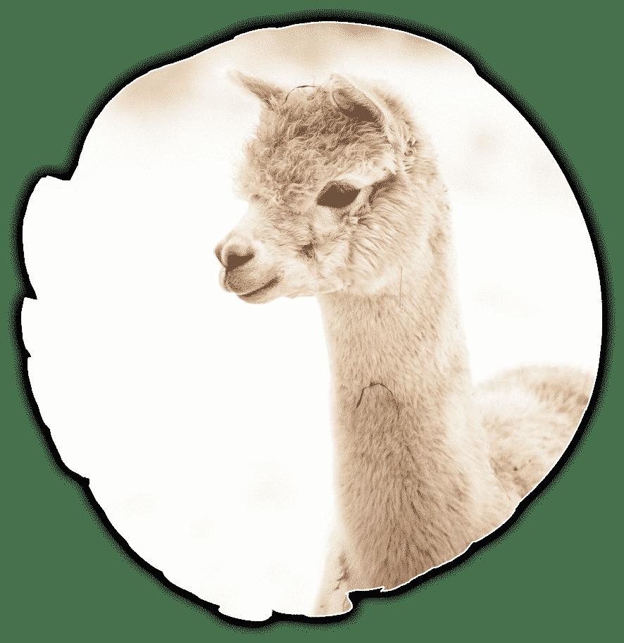 Alpakafarm-Finja-and-Friends_Jupp_rund